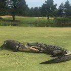 Alligatori invadono il campo da golf: la lotta sotto agli occhi dei giocatori VIDEO