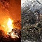 Sardegna, il dolore per l'olivastro millenario distrutto dalle fiamme: «Addio a uno degli alberi più antichi»