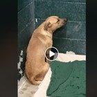 Cane abbandonato dai padroni: il video di Coby terrorizzato contro il muro commuove il web