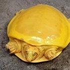 Scoperta una rarissima tartaruga gialla, è il secondo esemplare al mondo