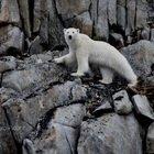 Orsi polari ridotti alla fame