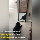 Il cucciolo di Labrador si guarda allo specchio per la prima volta: la sua reazione è adorabile