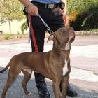 Aggredite da due pitbull in casa: ferite tre donne