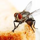 """Le mosche trasportano batteri: """"Sulle loro zampe 300 tipi diversi"""". Pericoli più alti in città"""