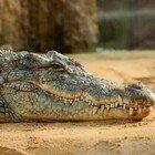 Australia: coccodrillo attacca un 33enne che fa snorkelling, morso alla testa