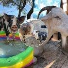 Capra Libera Tutti, il Santuario che salva e protegge gli animali a due passi da Roma