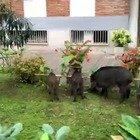 Roma invasa, otto cinghiali banchettano nel giardino di un condominio di viale Valle Aurelia