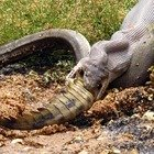 Pitone mangia un coccodrillo (Facebook/GG Wildlife Rescue)