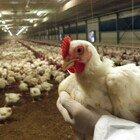 Aviaria nel nord Europa: migliaia di polli abbattuti in Francia, Germania e Inghilterra