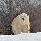 Orso polare maschio uccide femmina allo zoo di Detroit: «Tentativo accoppiamento finito in tragedia»