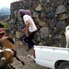 Vulcano Canarie, animali portati in salvo dalla Guardia Civil