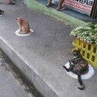 Coronavirus, anche i gatti rispettano il distanziamento sociale: il motivo è scientifico ma le foto sono virali