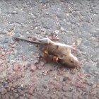 Calabrone killer, ora è allerta totale: ecco come può uccidere un topo in pochi istanti