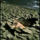 Ostia, tartaruga gigante depone le uova in spiaggia VIDEO