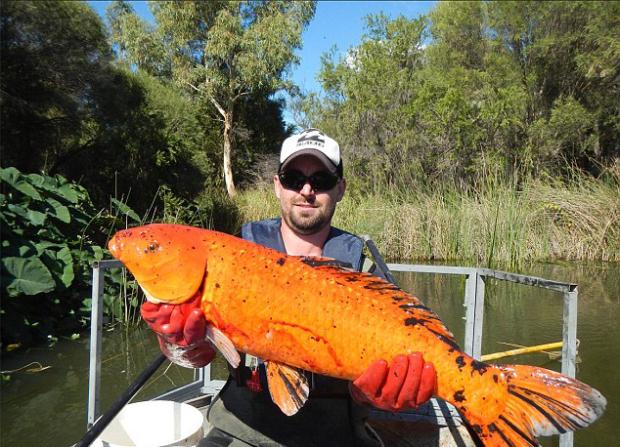 Pesci rossi giganti nei fiumi non abbandonateli for Pesci rossi piccoli