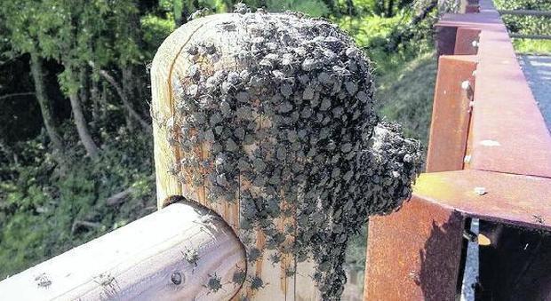 Invasione di cimici asiatiche distrutti interi frutteti for Cimice insetto