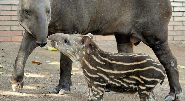 Al Bioparco di Roma è nato un tapiro, si chiama Staffello
