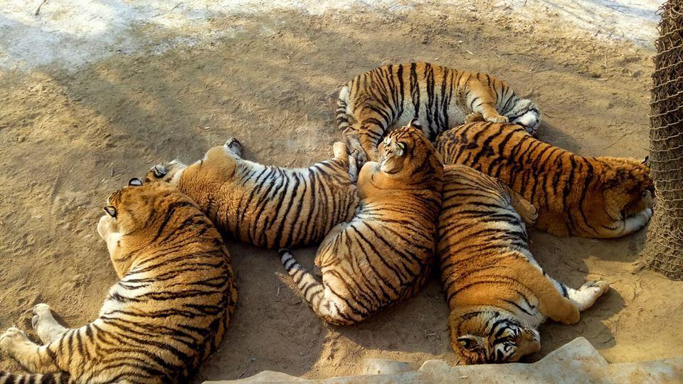 Tigri obese nel parco naturale ecco perch queste foto for Disegni delle tigri