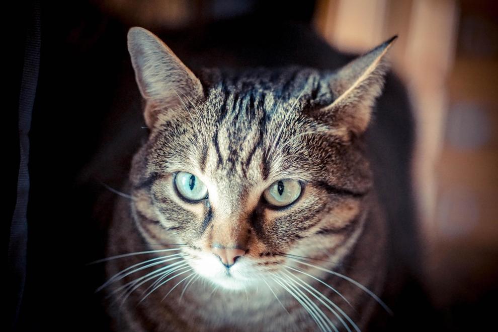 I gatti signori del mondo, il loro