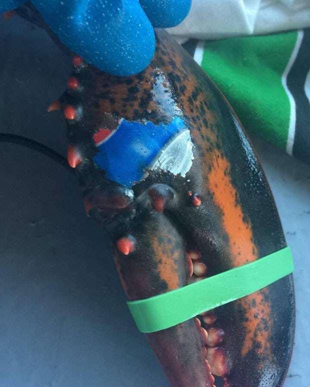 La foto di questa aragosta è diventato il simbolo della lotta all'inquinamento marino