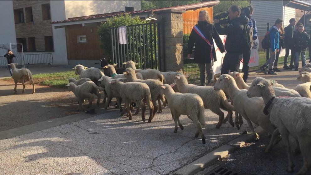 A scuola iscrivono 15 pecore perché mancano gli alunni